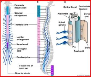 anatomy of the spinal cord – brain and spine center